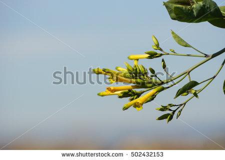Nicotiana glauca clipart #16