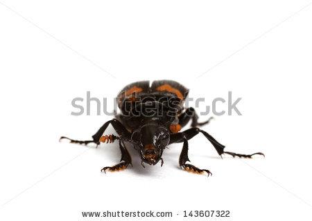 Nicrophorus vespilloides clipart #9