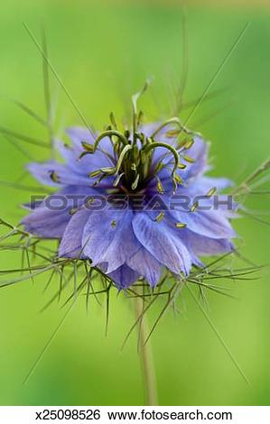 Stock Images of Love in the mist flower (Nigella damascena.