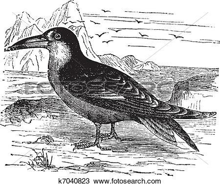 Clipart of Black Skimmer or Rynchops niger vintage engraving.
