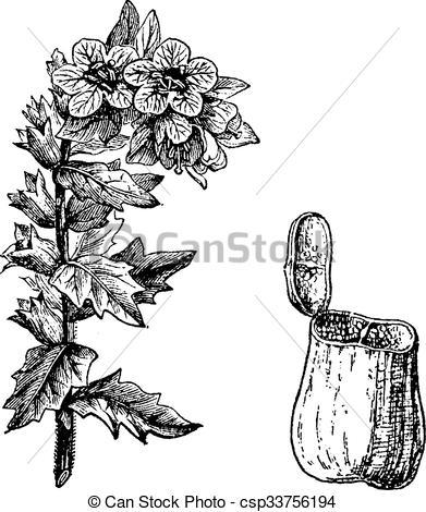 EPS Vectors of Black Henbane or Hyoscyamus niger, vintage.