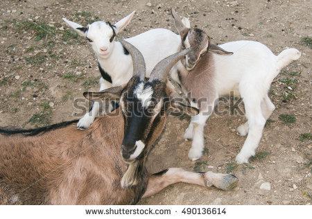Nigerian Dwarf Goats Stock Photos, Royalty.