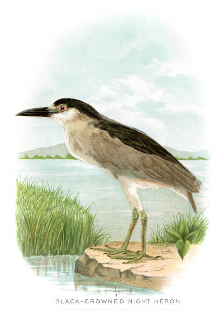 Night Heron Clip Art, Vector Images & Illustrations.