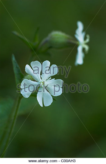 White Campion Silene Latifolia Caryophyllaceae Stock Photos.