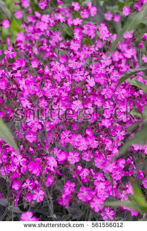 Silene Stock Images, Royalty.