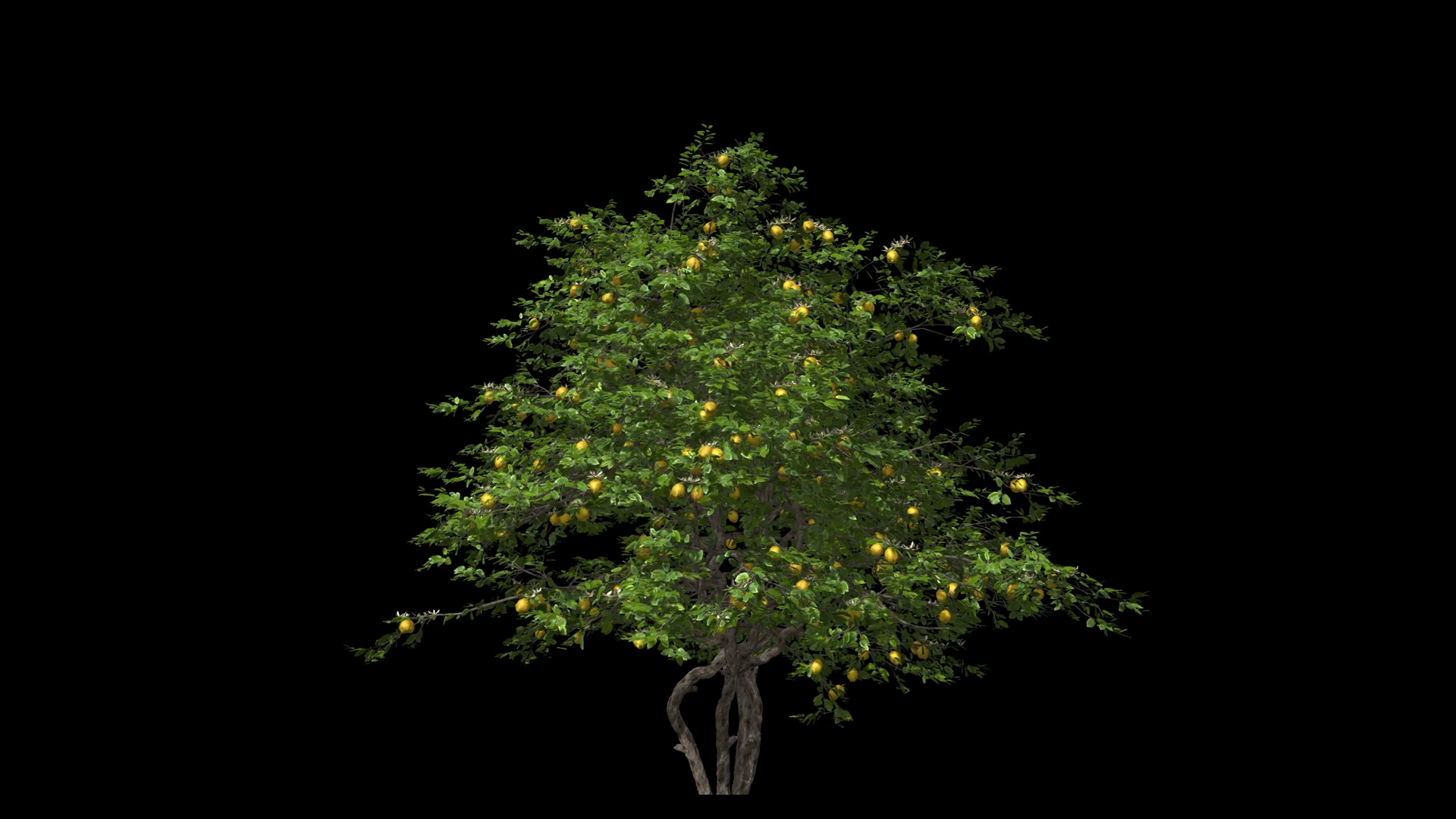 Lemon tree in the wind Format MOV, codec png with alpha channel.
