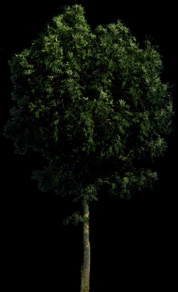 Download Tree Transparent HQ PNG Image.