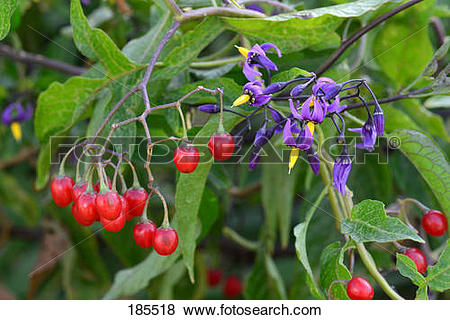 Pictures of Bittersweet Nightshade, Deadly Nightshade (Solanum.
