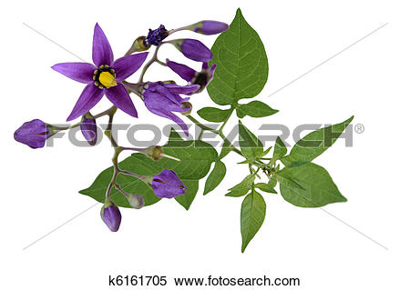 Stock Image of Nightshade Solanum dulcamara k6161705.