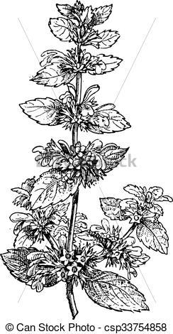 Clipart Vector of Black Horehound or Ballota nigra, vintage.