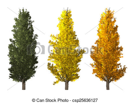 Clip Art of Populus Tree Isolated on White.