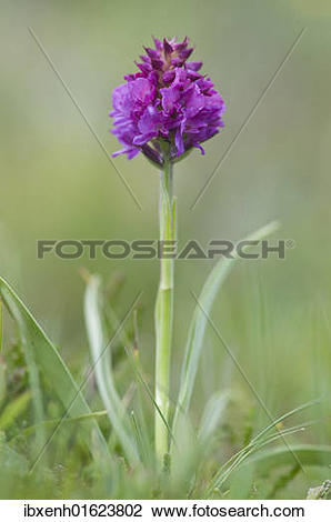 Stock Photo of Red Vanilla Orchid (Nigritella rubra.