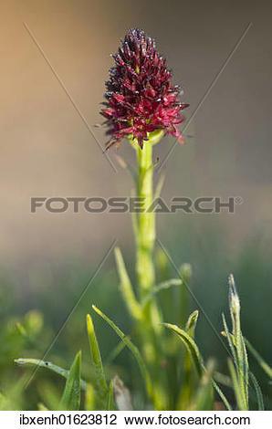 Stock Photo of Black Vanilla Orchid (Nigritella nigra.