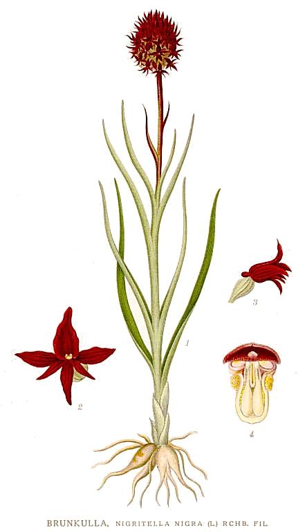 Nigritella nigra by Carl Axel Magnus Lindman..