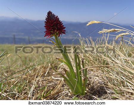 """Stock Photography of """"Black Vanilla Orchid (Nigritella nigra."""