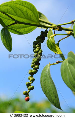 Stock Photo of Peppercorns.