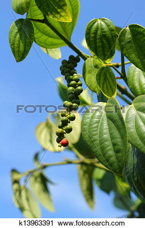 Stock Photography of Peppercorns.