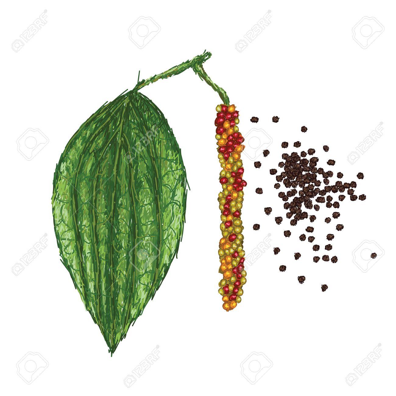 Unique Style Illustration Of Black Pepper Or Piper Nigrum Leaf.