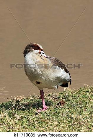 Stock Image of Egyptian Goose (Alopochen Aegyptiacus), Balancing.