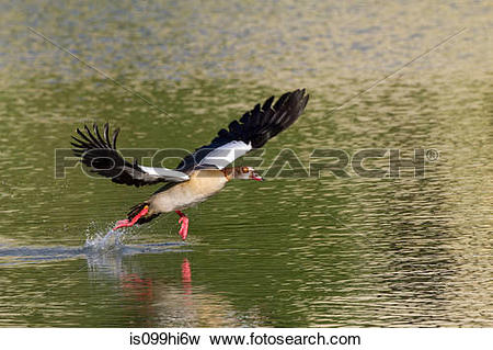 Picture of Egyptian goose is099hi6w.
