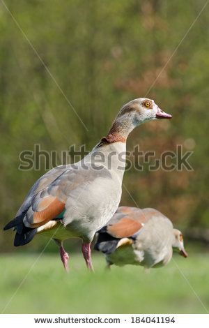 Nile Goose Stock Photos, Royalty.