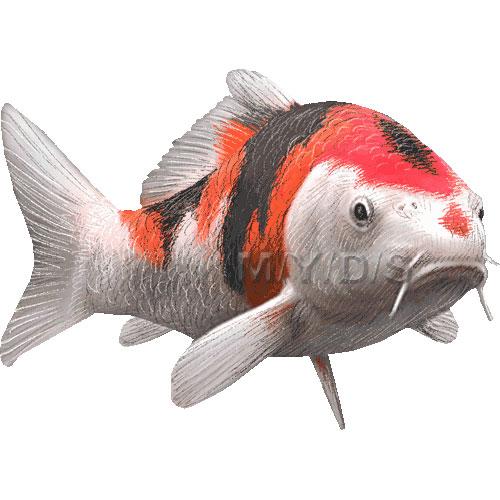 Koi, Nishikigoi, Japanese carp clipart graphics (Free clip art.
