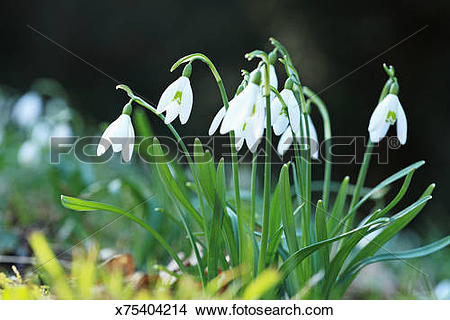 Stock Photo of Snowdrops (Galanthus nivalis) x75404214.