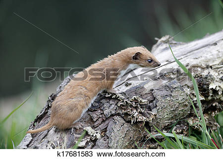 Stock Photo of Weasel, Mustela nivalis, k17681583.