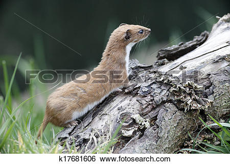 Stock Images of Weasel, Mustela nivalis, k17681606.