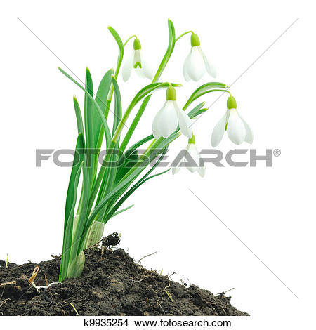 Stock Photo of Snowdrops (Galanthus nivalis) on white background.