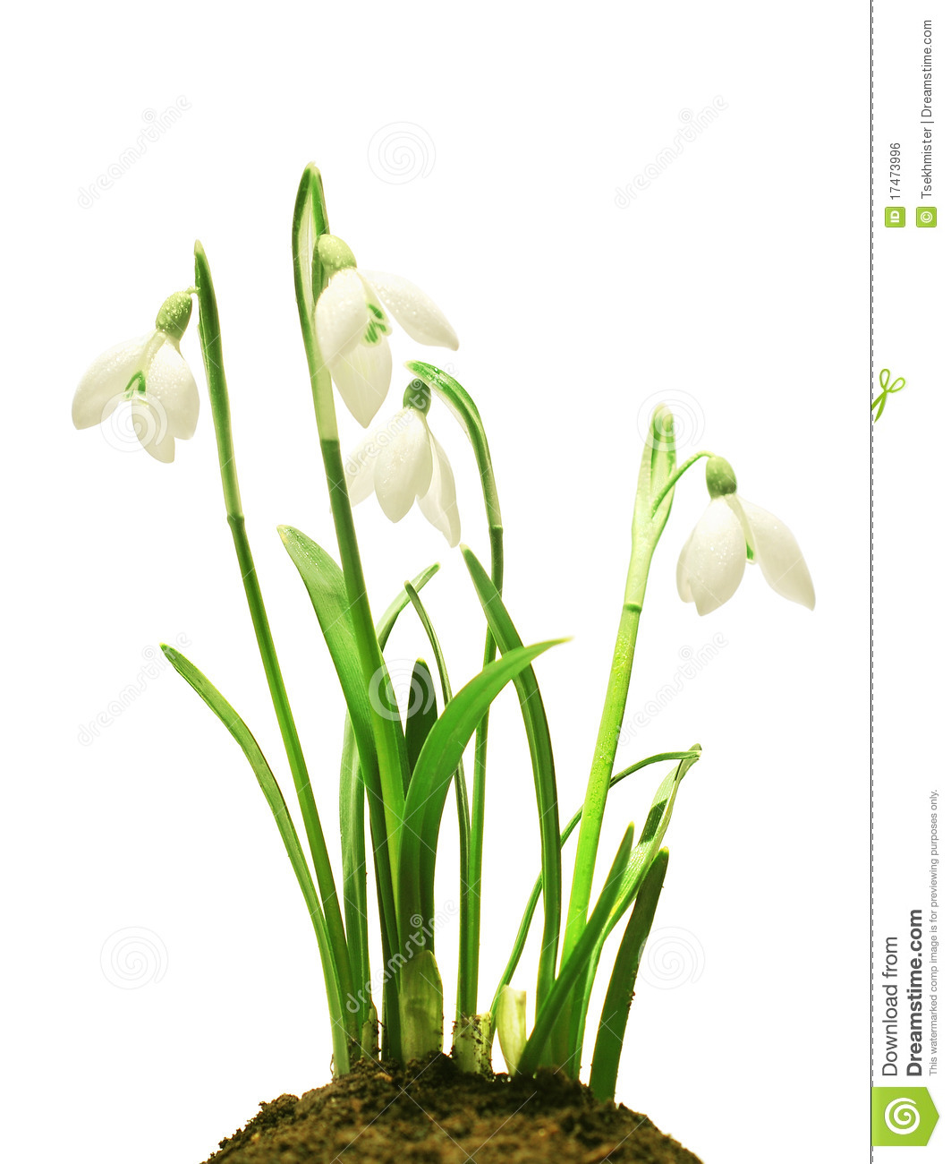 Snowdrops (Galanthus Nivalis) On White Background Royalty Free.