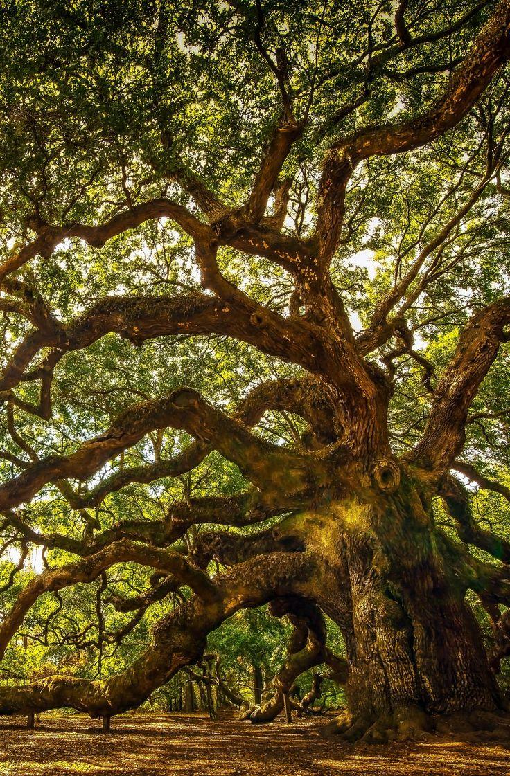 10+ ideas about Oak Tree on Pinterest.