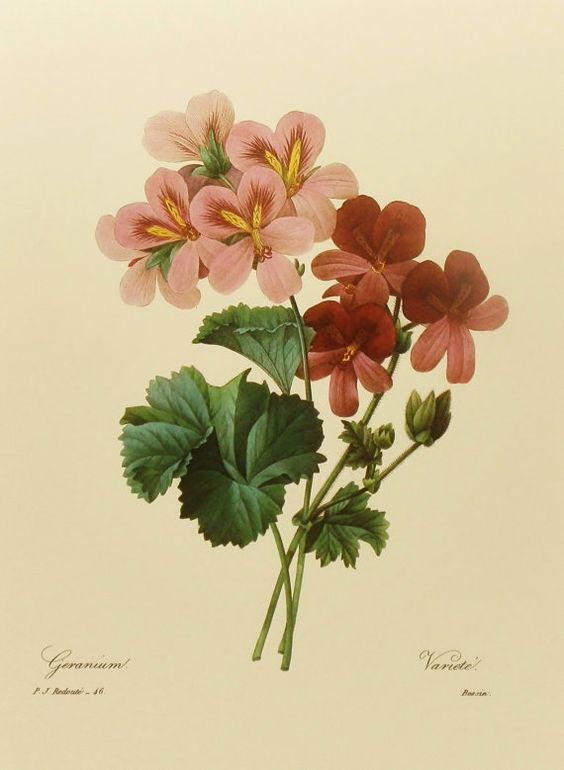 Vintage Geranium Decor, Bookplate Botanical Flower, Red Redoute.