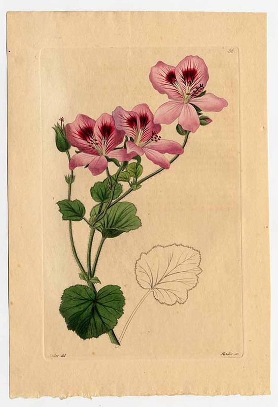 Pelargonium cartilagineum.
