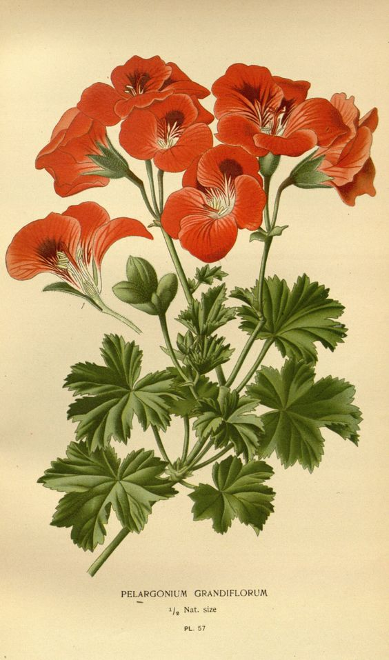 Pelargonium grandiflorum Willd..