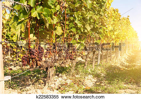 Stock Image of Noble rot of a wine grape, botrytised grapes.