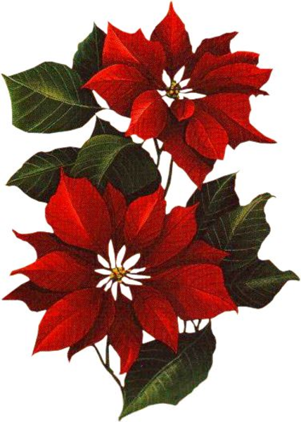 Flor De Nochebuena Clipart.