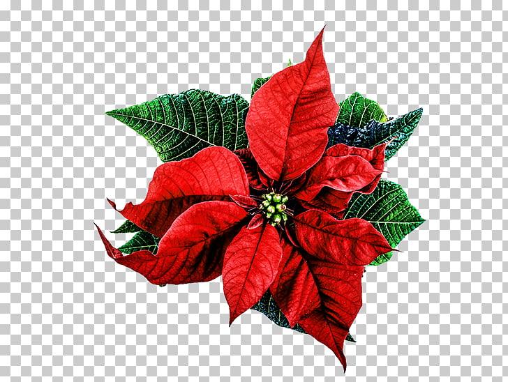 Flor de nochebuena la felicidad amor, flores de navidad PNG.