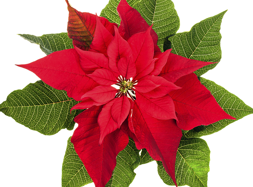 Flor nochebuena png 7 » PNG Image.