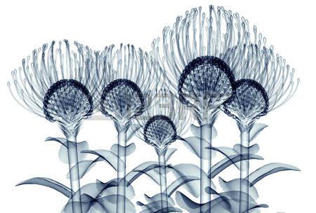 Pincushion Flower Stock Photos Images. Royalty Free Pincushion.