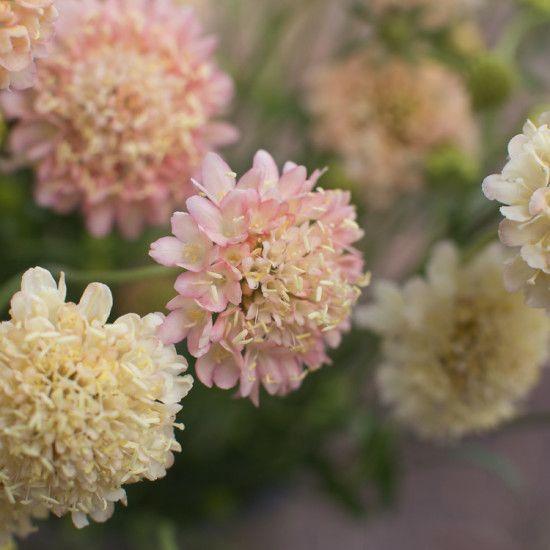 1000+ ideas about Scabiosa Flowers on Pinterest.
