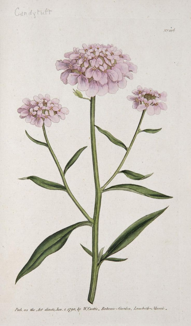 1000+ images about botanical flower on Pinterest.