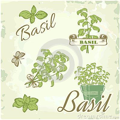 Basil, Herb, Stock Photos.
