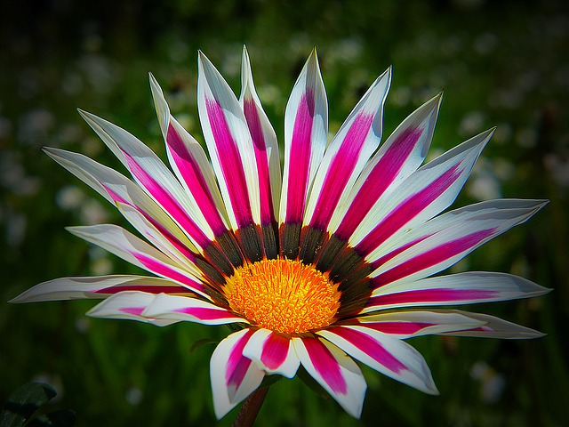 Free photo Garden Floral Gazania Australia Nature Flower.