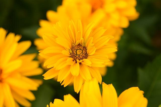 Free photo Sonnentaler Noon Gold Flower Gazanie Red Gold Noon.