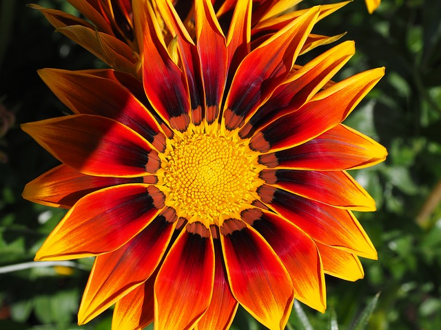 Free photo Sonnentaler Noon Gold Flower Gazanie Red Gold Noon.
