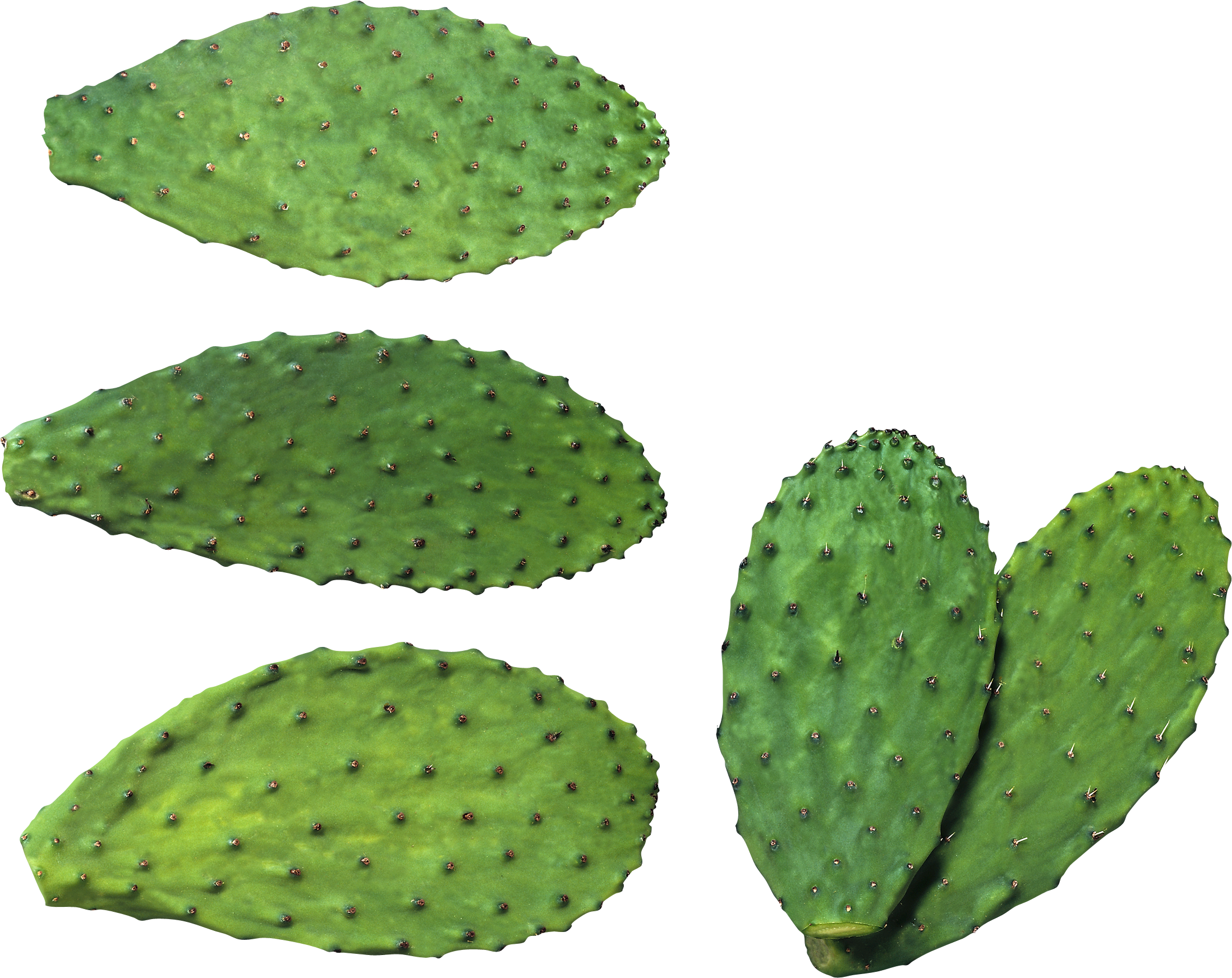 Cactus PNG image, free picture cactus download.