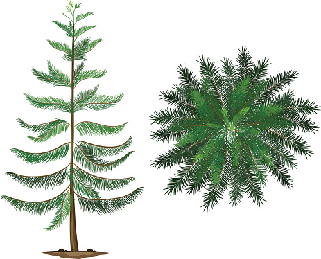 Norfolk Island Pine Clip Art, Vector Images & Illustrations.