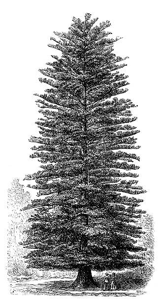 Norfolk Pine Clip Art, Vector Images & Illustrations.