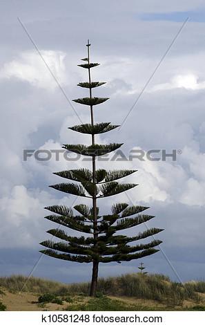 Norfolk pine christmas tree clipart.